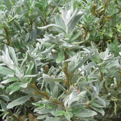 Ива швейцарская Salix  helvetica